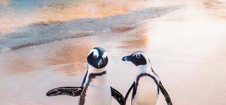 """Quando il pinguino maschio si innamora setaccia tutta la spiaggia per cercare il giusto sasso da regalare alla sua """"sposa""""…"""