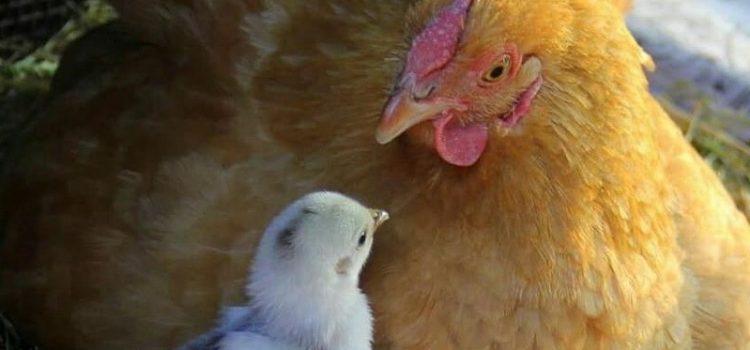 Da tanti giorni la chioccia cova un mucchio d'uova. In ogni guscio un pulcino cresce e un bel giorno … Ia colpisce di becco lo spacca ed esce: pio… pio… ci sono anch'io!