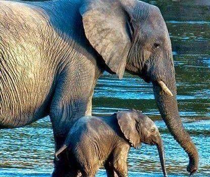 Gli elefanti amano incontrarsi. Essi si riconoscono l'un l'altro dopo anni e anni di separazione e si salutano con selvaggia gioia chiassosa. Barriscono e strombazzano, sbattono le orecchie e sfregano per terra, intrecciando le proboscidi. (Jennifer Richard Jacobson)